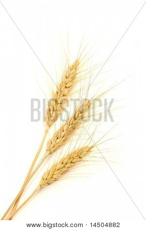 isoliert golden Wheat Ear nach der Ernte