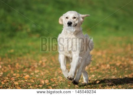 golden retriever dog carrying a cellophane bag in her mouth