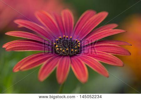 Aster Flower Summer Garden Nature Floral Impression