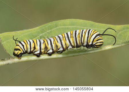 Monarch Butterfly Caterpillar (danaus plexippus) on a milkweed leaf