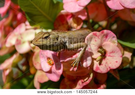 close up chameleon on pink flower in garden