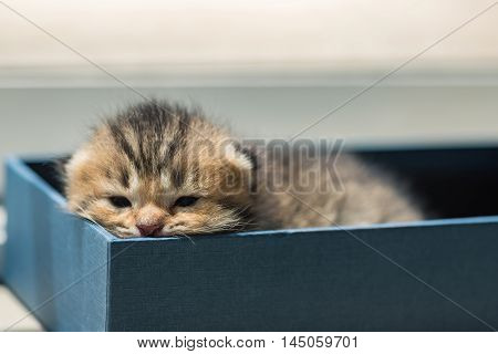 Close up of cute lazy tabby persian kitten lying in blue paper box in the orning.