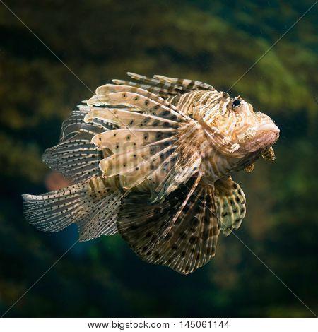 Lion Fish, color image, square image, close up