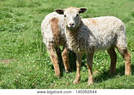 Two pretty lambs on pasture. Sheep on the meadow.
