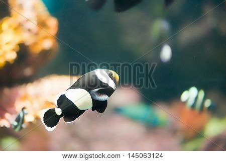 Sebae clownfish Amphiprion sebae, horizontal image, color image
