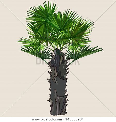 palm with spreading leaves on a thick trunk