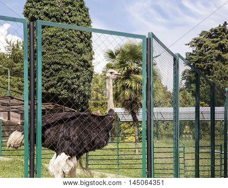 For a mesh fence enclosure is an ostrich with a long neck and dark plumage.