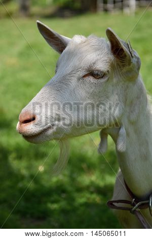 White goat head. Goat on the meadow.
