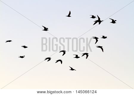 flock of shorebirds migrate south, the birds in the sky, silhouettes