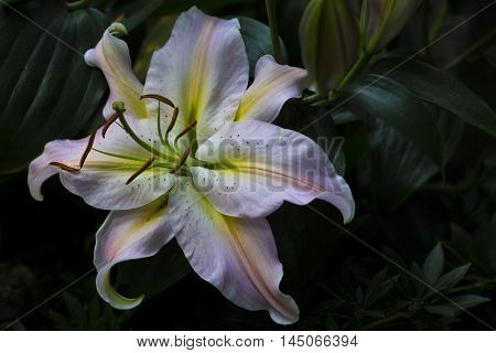 Lilium Flower Summer Garden Blossom Sentiment Impression
