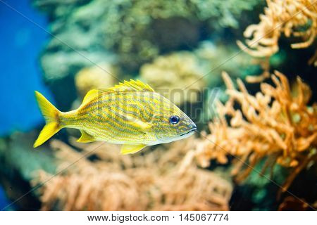 French Grunt Haemulon flavolineatum, color image,horizontal image, close up