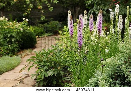 Spikelet Liatris (Liatris spicata) - original and very undemanding perennial. Inflorescences of white and purple flowers stand out against the green of summer.