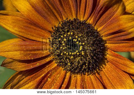 Sunflower Flower Garden Autumn Nature Blossom Impression