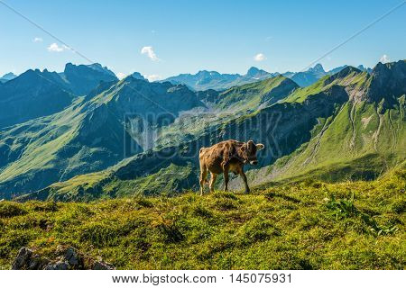 Lone cow in an alpine pasture in the Allgau Alps, Germany walking over the ridge of a high altitude plateau with green summer grass