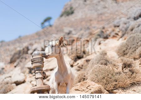 Thirsty goat drinking water from a leaky rusty pipe during a hot summer day in south Crete (Greece)