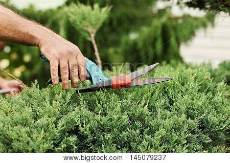 Hands of gardener closeup cut juniper bush