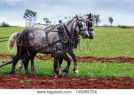 A pair of match grey draft horses in full harness.