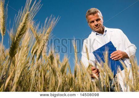 Reife Techniker holding und Prüfung eine Weizenähre während einer Qualitätskontrolle im Freiland, niedrigen Winkel vie