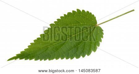 Nettle leaf isolated on a white background