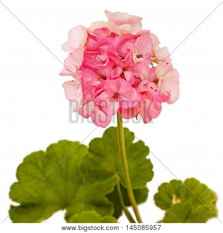 Pink geranium (pelargonium) with few green leaves isolated on white background