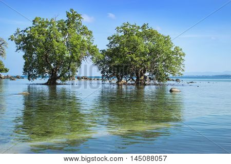 Two mangrove trees in low tide zone. South-east Asia. Thailand