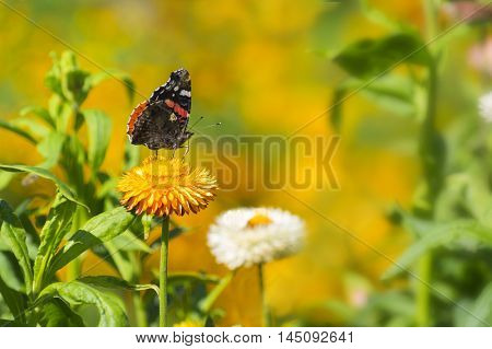 Red Admiral (Vanessa atalanta) butterfly feeding on Strawflower (Xerochrysum bracteatum). Ventral side