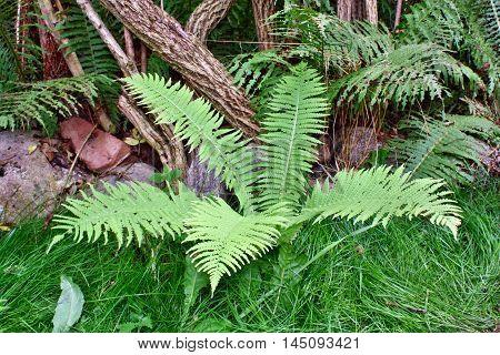 Green Fern Growing In The Garden