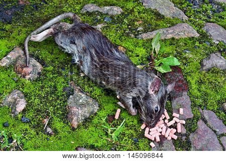 Dead Big Rat And Spilled  Pellets Of Poison