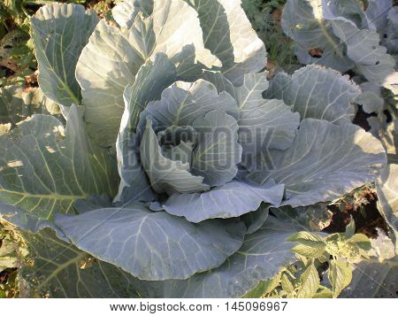 Partially illuminated head growing cabbage with loose leaves