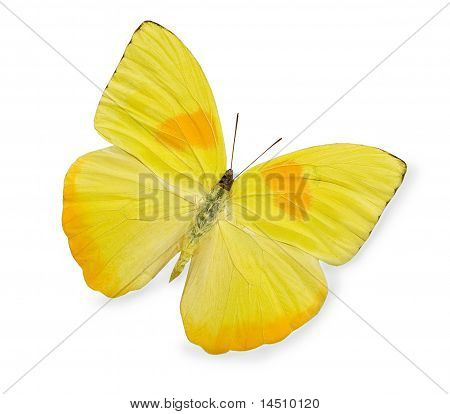 Yellow topical butterfly