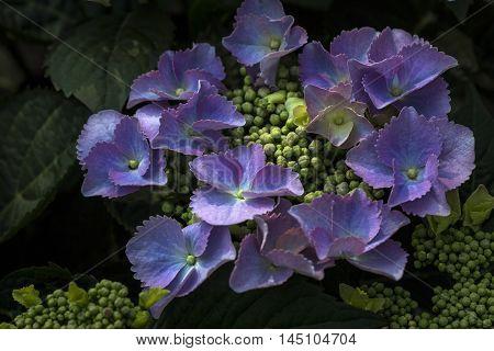 Hortensia Flowers Garden Summer Nostalgia Feeling Impresion