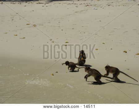 Monkey Beach In Thailand