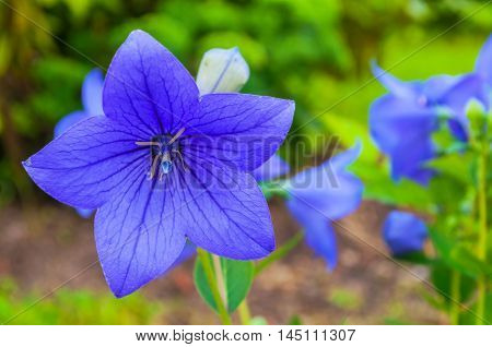 Bellflowers - Platycodon grandiflorus - in the meadow under sunlight. It is commonly known as common balloon flower or balloon flower. Summer flower landscape. Focus at the central bellflower