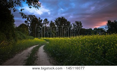 A path meander through a rapeseed field as the sun sets on Skagit Valley