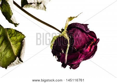 Dried Rose Isolated