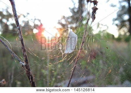 Sunrise through a spiderweb with captured seed pod in the bush