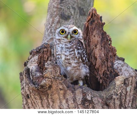 Little Owl in a hollow tree at park