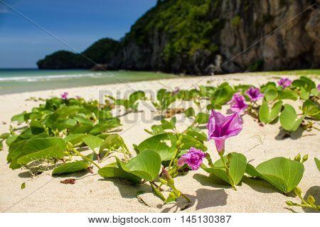 Close up Ipomoea pes-caprae Sweet or Beach Morning Glory (Scientific Name : Ipomoea Pes-caprae)