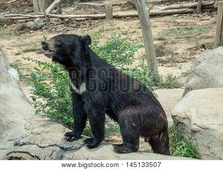 Asiatic black bear  garden, heavy, omnivorous  zoo