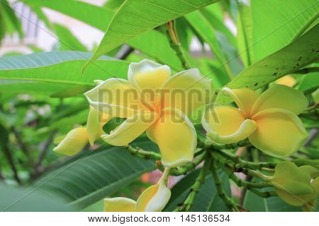Plumeria flower Desert Rose. beautiful yellow Plumeria on the tree. or Impala  Lily .  ( Common name Apocynaceae Frangipani Pagoda tree Temple tree )