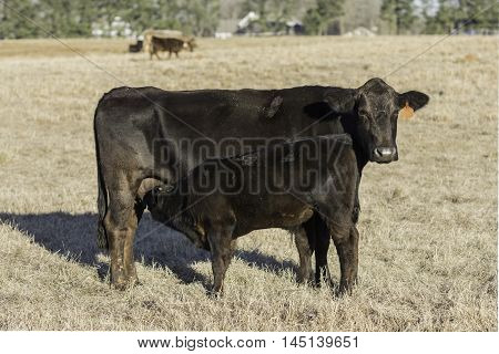 Angus calf nursing Angus cow with other cows in the background on dormant pasture