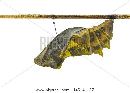 Isolated Mature Cocoon Of Common Birdwing Butterfly In White Background