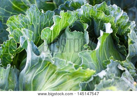 Green big fresh ripe cabbage growing in the garden. Organic vegetables in the farm. Cabbage detail or cabbage background.