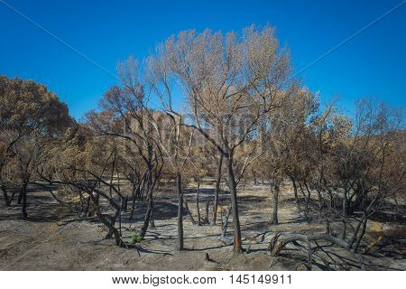 Leftover Trees From Wildfire