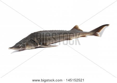 sturgeon fish on a white background. head in focus