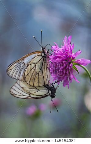 Couple of white wing butterflys mating on a pink-purple flower on the Alps