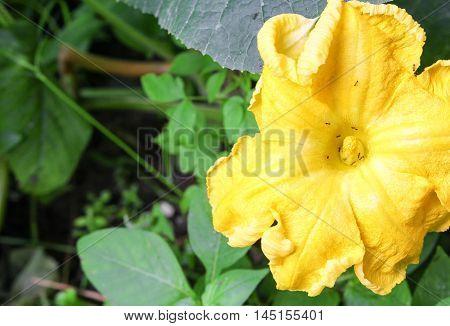 Pumpkin flower. The ant is on yellow pumpkin flowers in the garden