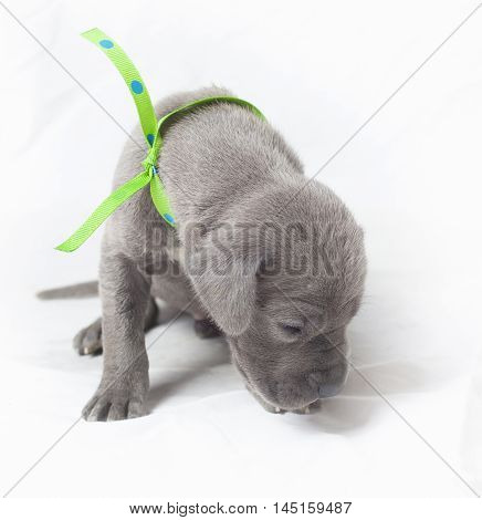 Purebred Great Dane puppy that is smelling the ground
