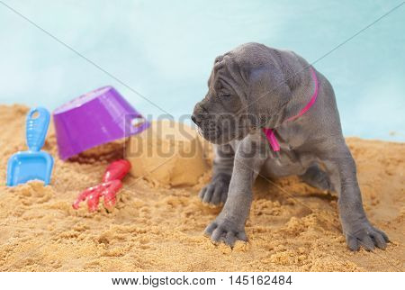 Gray purebred Great Dane puppy on the sand with toys