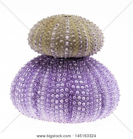 Green and violet sea shells of sea urchin isolated on white background .